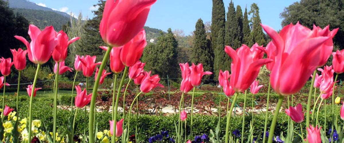 Отдых в Крыму. Парад тюльпанов в Никитском ботаническом саду яркое событие весны